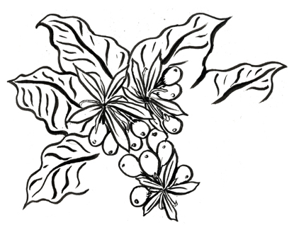 Coffee Bean Plant Drawing Coffee Plant
